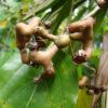 Japanese raisin tree - hovenia dulcis